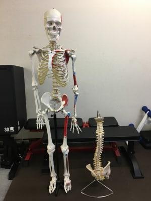 骨格模型もあります - 西荻窪パーソナルトレーニングジム 並木コンディショニングセンターの設備の写真